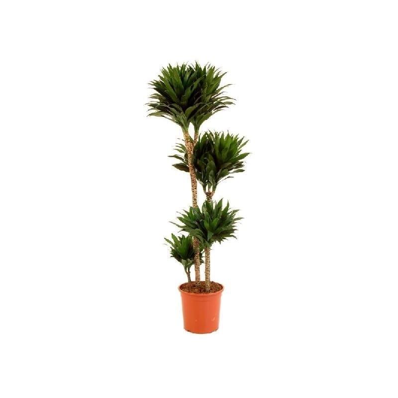 Dracena planta decoración floristería Cartagena