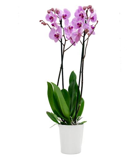 Venta de orquídea fucsia Oasis Floristas Cartagena