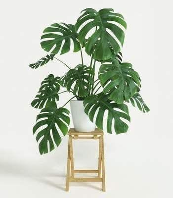 planta mostera